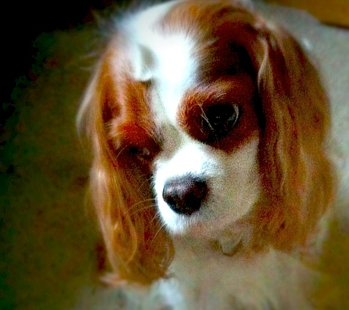 Lily Loftesness - Cavalier King Charles Spaniel - September 3, 2010